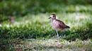pacific golden plover 004