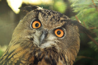surprised owl 001