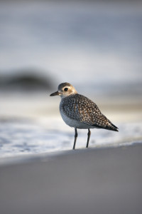 black bellied plover beach 01
