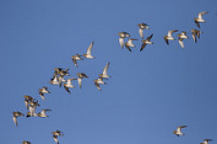 pacific golden plover flock 01